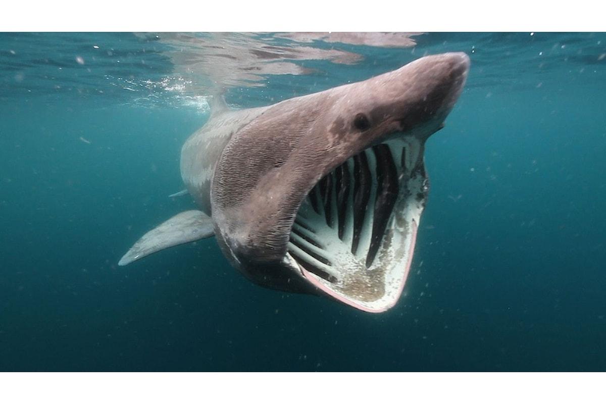 Lo squalo elefante è un pesce pericoloso?
